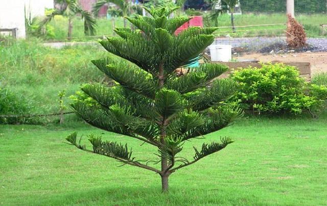 những loại cây không nên trồng trước nhà