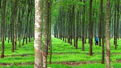 sử dụng đất trồng cây lâu năm